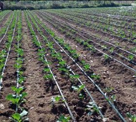 Drip irrigation in Kenya.